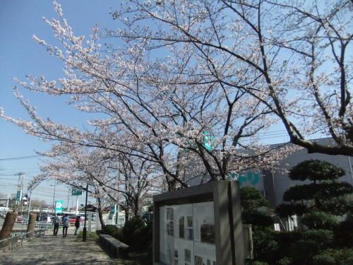 桜~桜...満開寸前..._b0137932_14492043.jpg