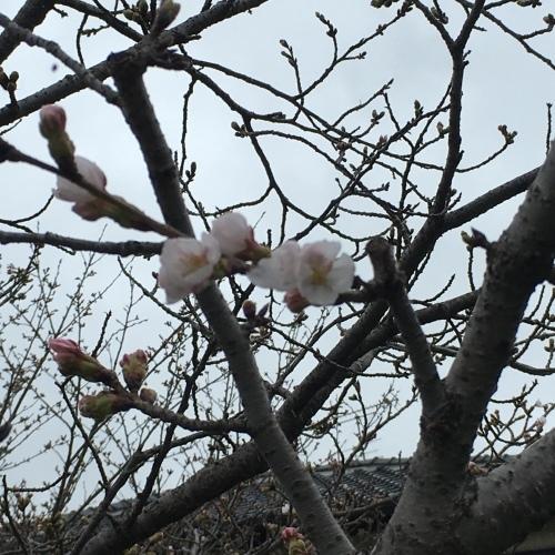 今月は、もうラスト‼️   桜 桜 桜〜‼️_b0346442_18384800.jpeg