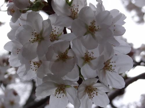 桜の色_e0240147_20041900.jpg