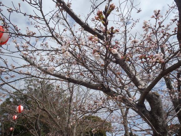 かみす桜まつり会場開花状況_f0229750_10193551.jpg