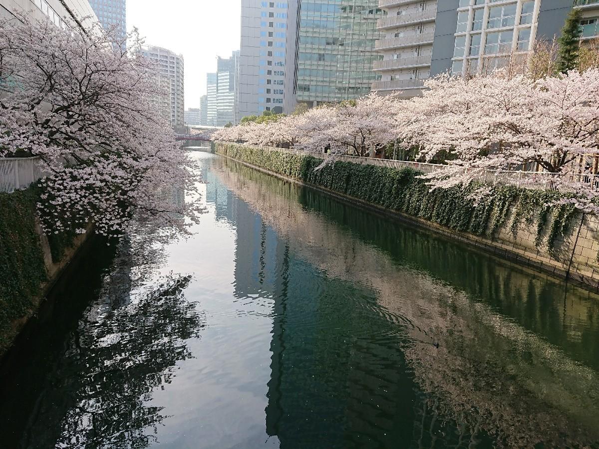 今朝の目黒川の桜♪_c0100865_08033907.jpg