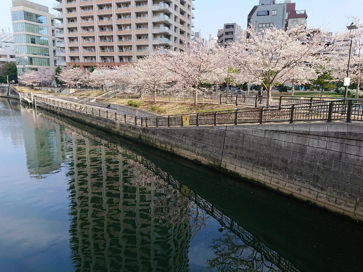 今朝の目黒川の桜♪_c0100865_08033918.jpg