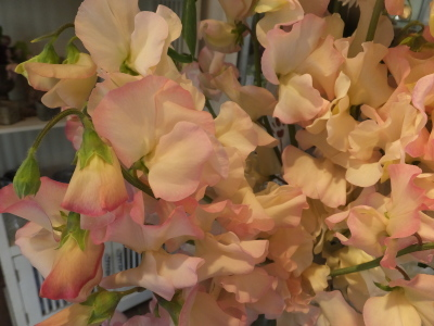 オークリーフ(春のマノン)_f0049672_17260775.jpg