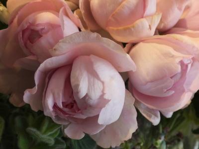 オークリーフ(春のマノン)_f0049672_17354360.jpg