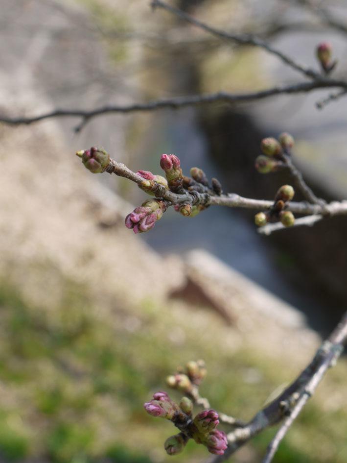 桜だより① 〜2018〜_c0334574_20093284.jpg