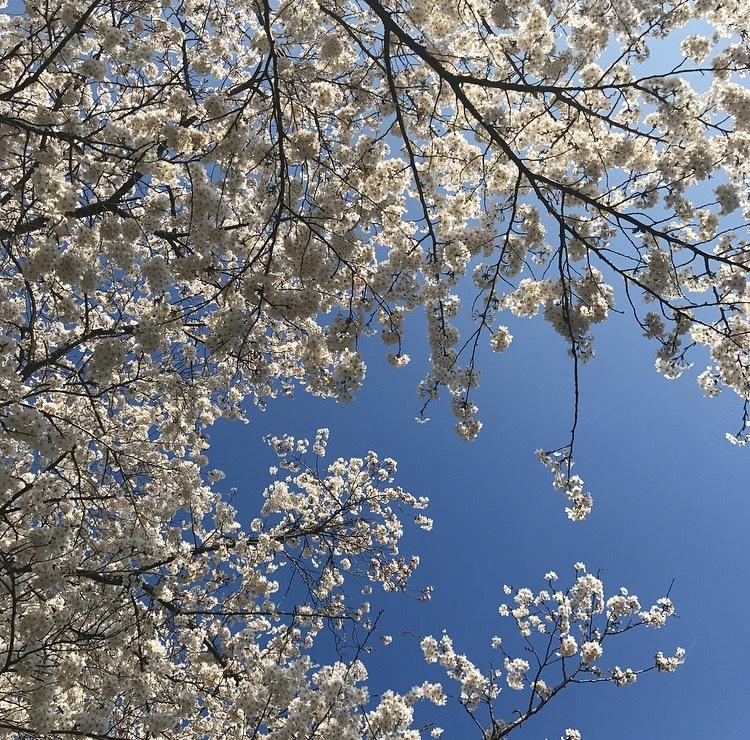 桜満開_c0366777_19004979.png