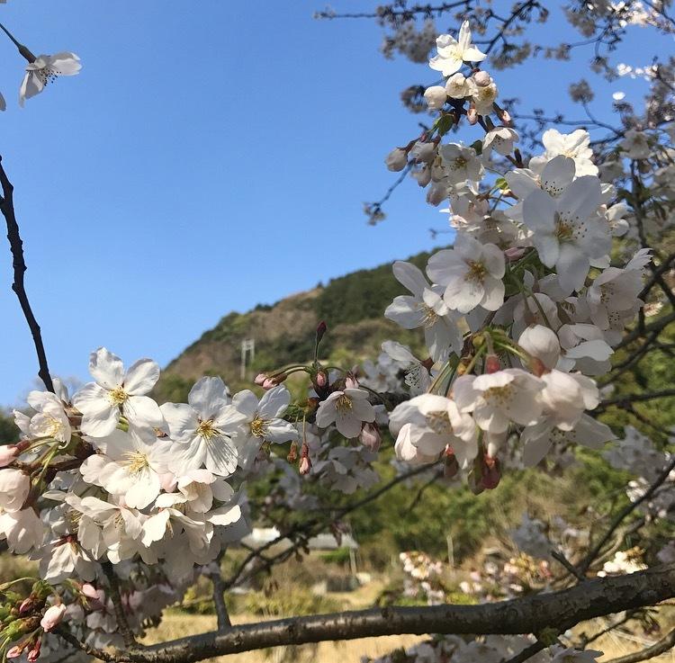 桜満開_c0366777_19005972.png