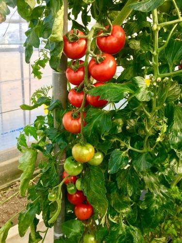 無農薬トマト_b0201492_17060699.jpeg