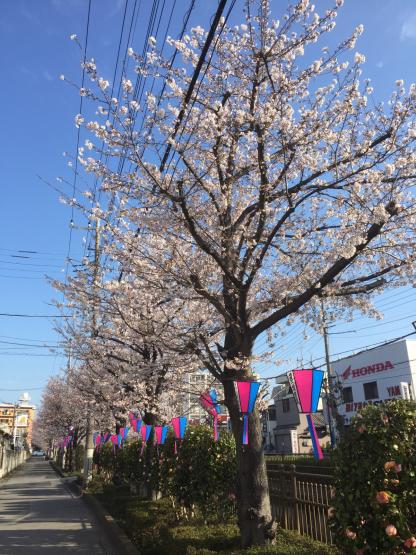 北園の桜並木🌸v>_e0351292_08324695.jpg