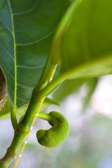鉢植えジャックフルーツに着蕾