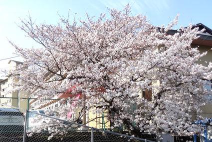 次々咲き出す榊原のサクラ_b0145296_15332048.jpg