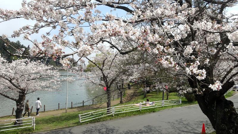 東金・八鶴湖の桜が満開に_b0114798_16384828.jpg