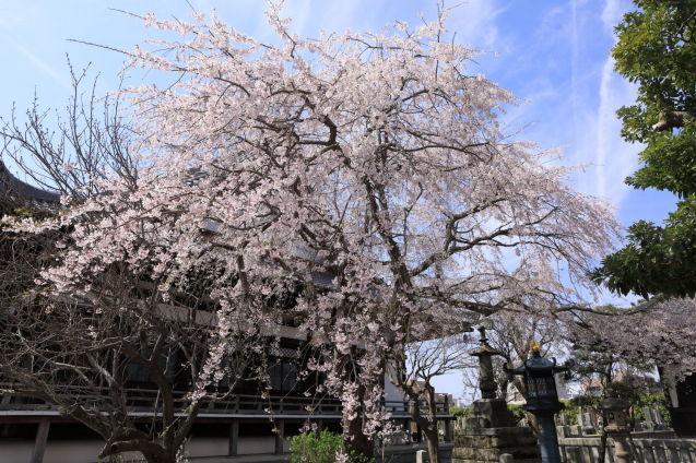 桜の季節_b0275998_15392723.jpg