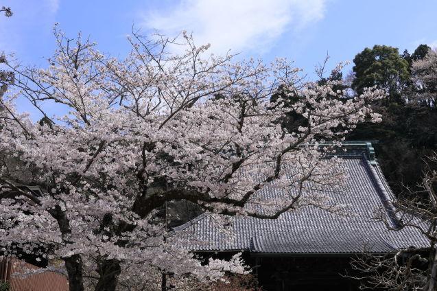 桜の季節_b0275998_15473490.jpg