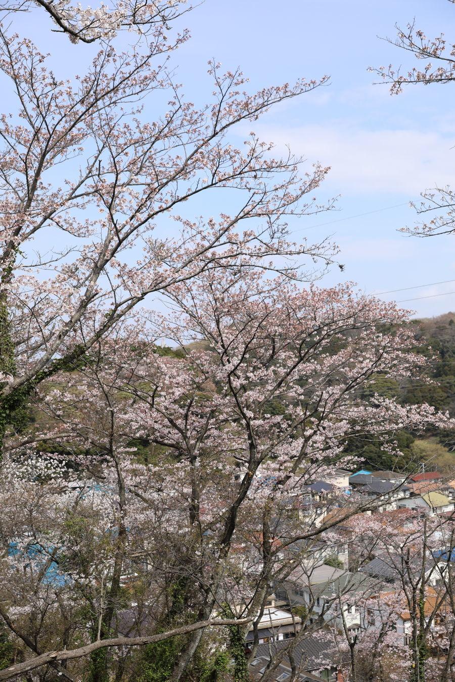 桜の季節_b0275998_16031532.jpg