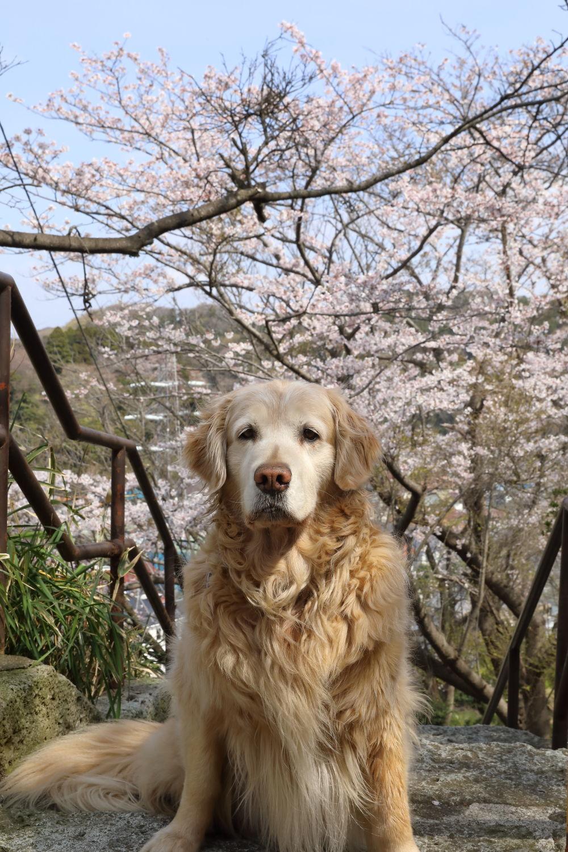 桜の季節_b0275998_16032726.jpg