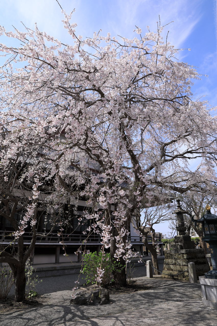 桜の季節_b0275998_16234533.jpg
