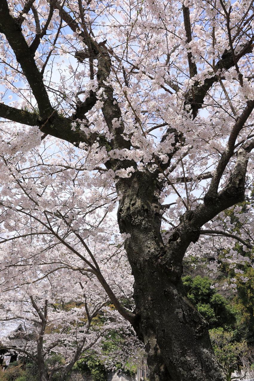 桜の季節_b0275998_16273368.jpg