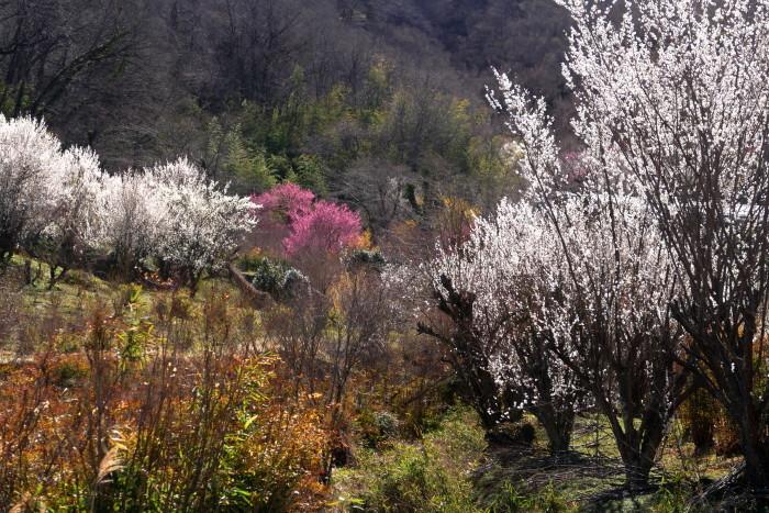 福島市渡利 「花見山の花」 ④_d0106628_18470361.jpg