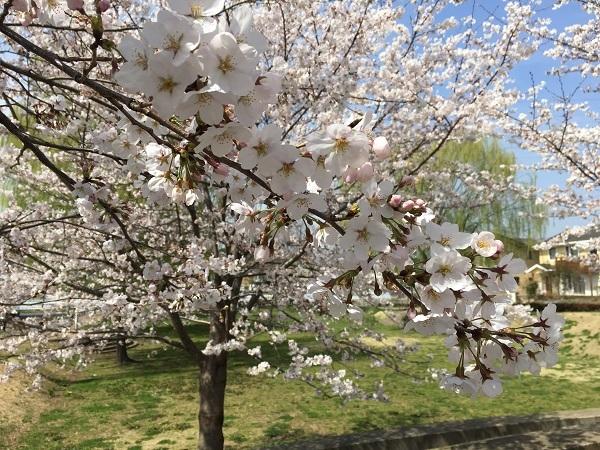 桜満開!_b0100229_11504686.jpg