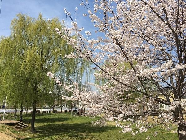 桜満開!_b0100229_11513148.jpg
