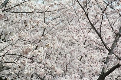 4月のお休みと 桜さくら_a0302737_12454105.jpg