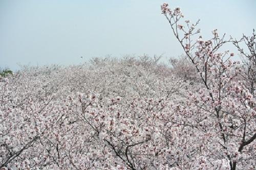4月のお休みと 桜さくら_a0302737_12520841.jpg