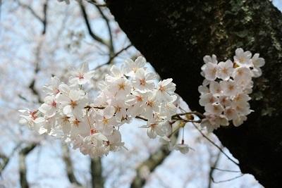 4月のお休みと 桜さくら_a0302737_13005672.jpg