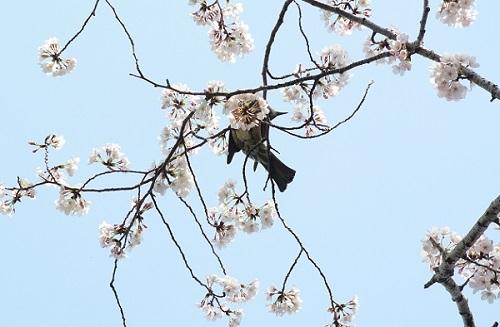 4月のお休みと 桜さくら_a0302737_13094418.jpg