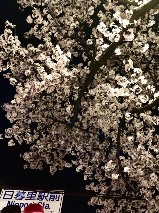 日暮里の夜桜 _a0103940_23201579.jpeg