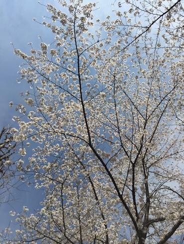 気づいたら、桜だった_c0113755_00243991.jpg