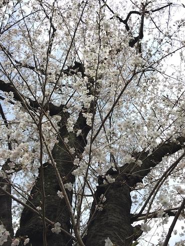 気づいたら、桜だった_c0113755_00250727.jpg