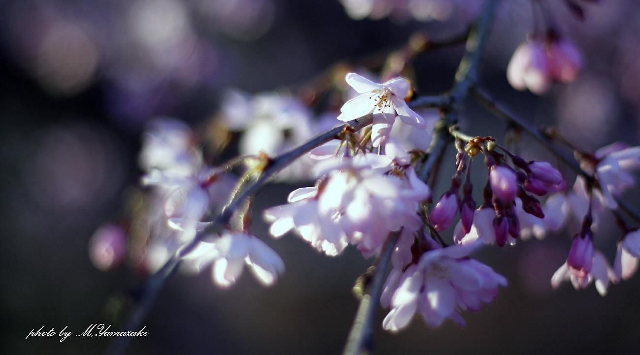 私のお花見_c0217255_06540705.jpg