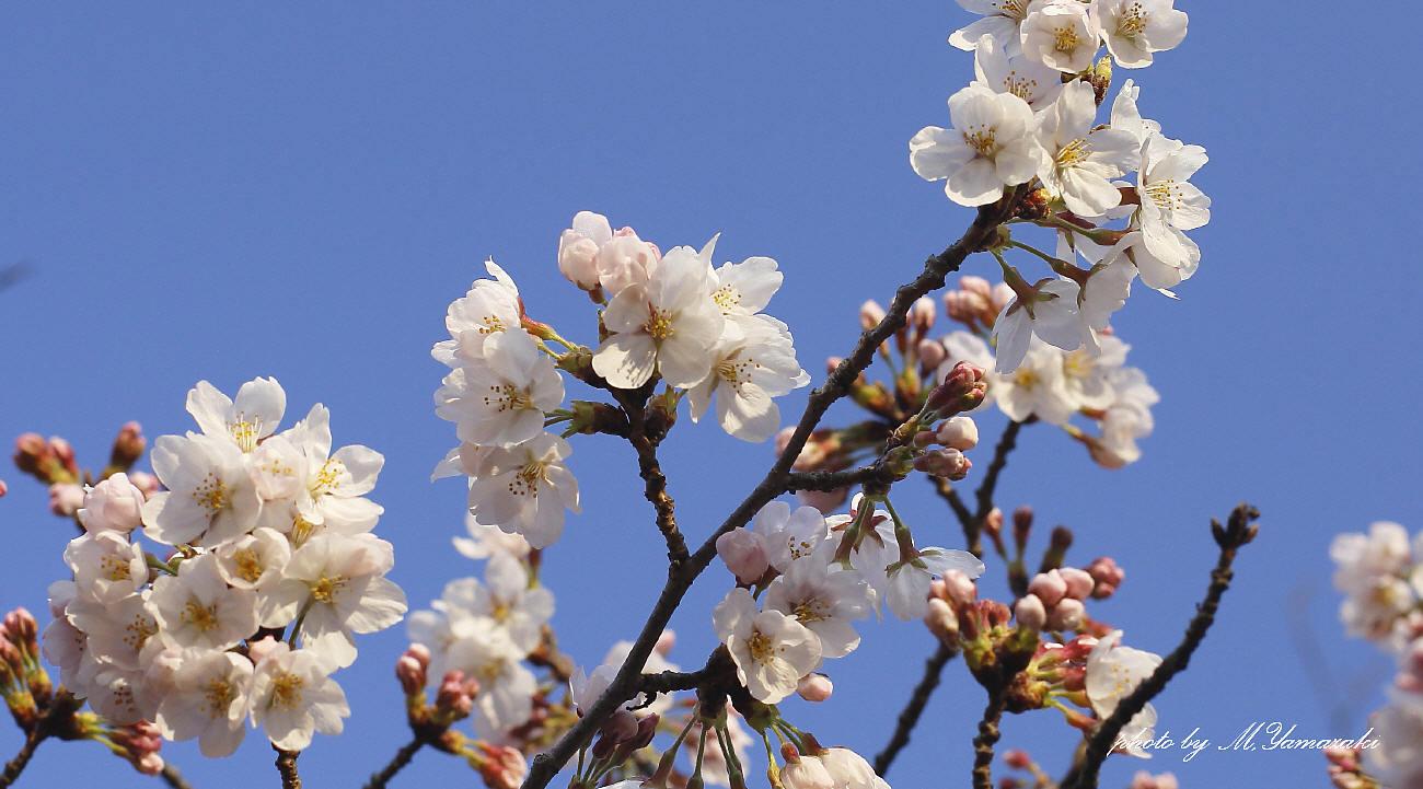 私のお花見_c0217255_06541487.jpg