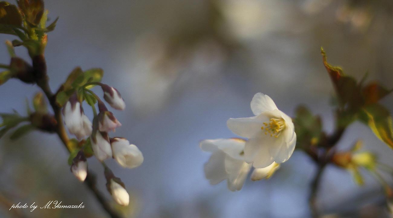 私のお花見_c0217255_06542121.jpg
