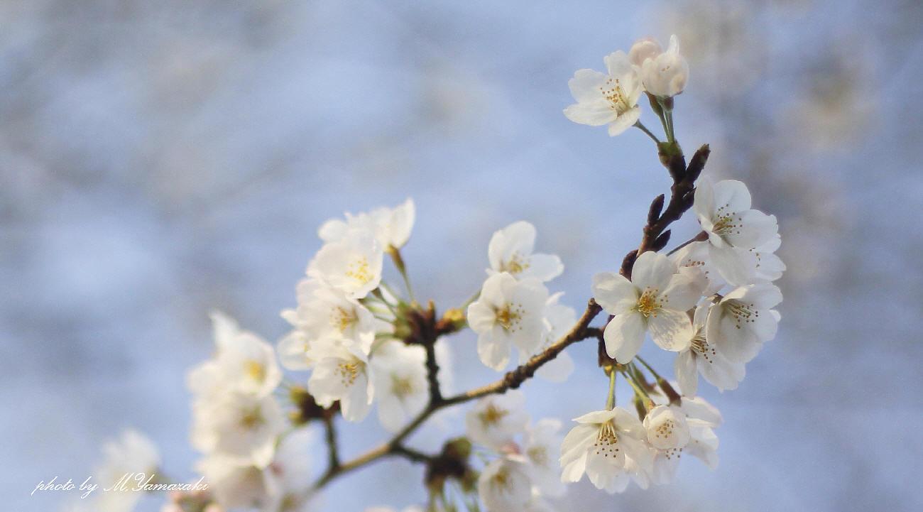 私のお花見_c0217255_06542809.jpg