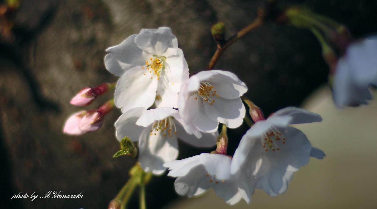 私のお花見_c0217255_06543327.jpg