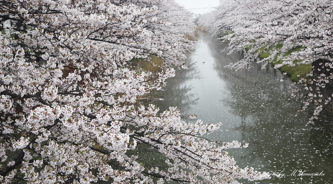 私のお花見_c0217255_06544002.jpg