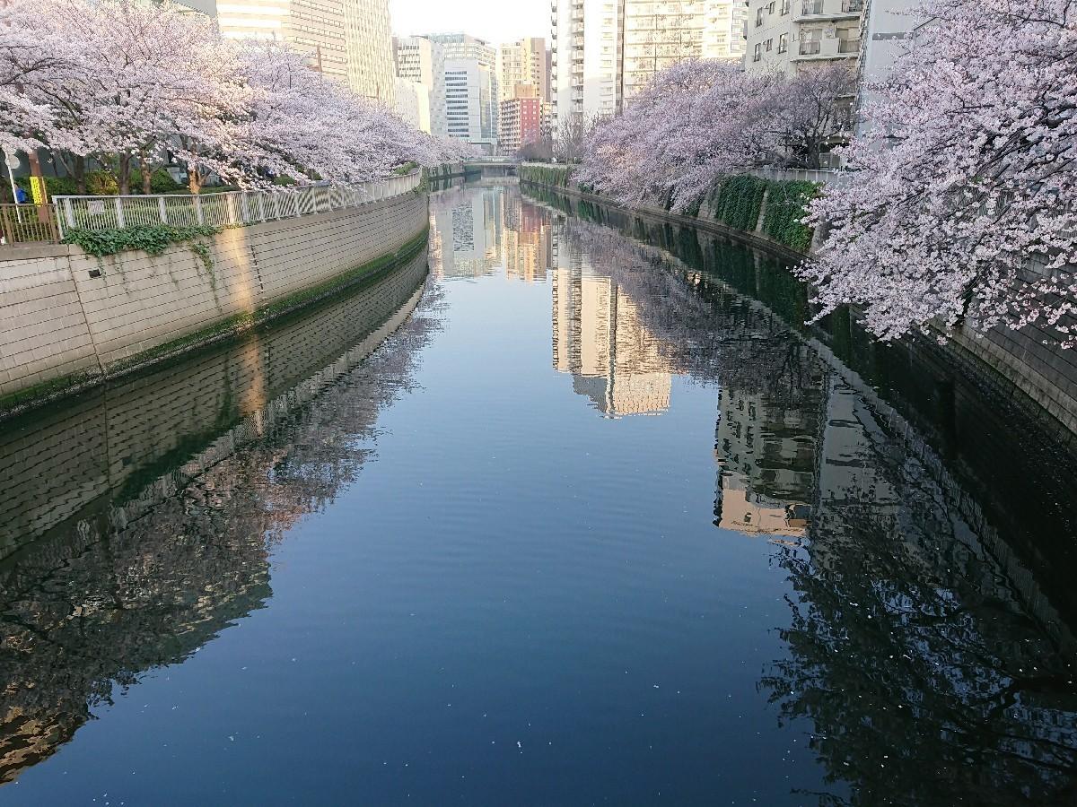 今朝の目黒川の桜_c0100865_08130240.jpg