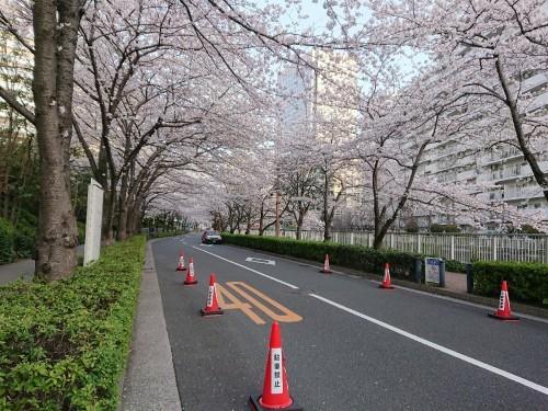 今朝の目黒川の桜_c0100865_08133260.jpg