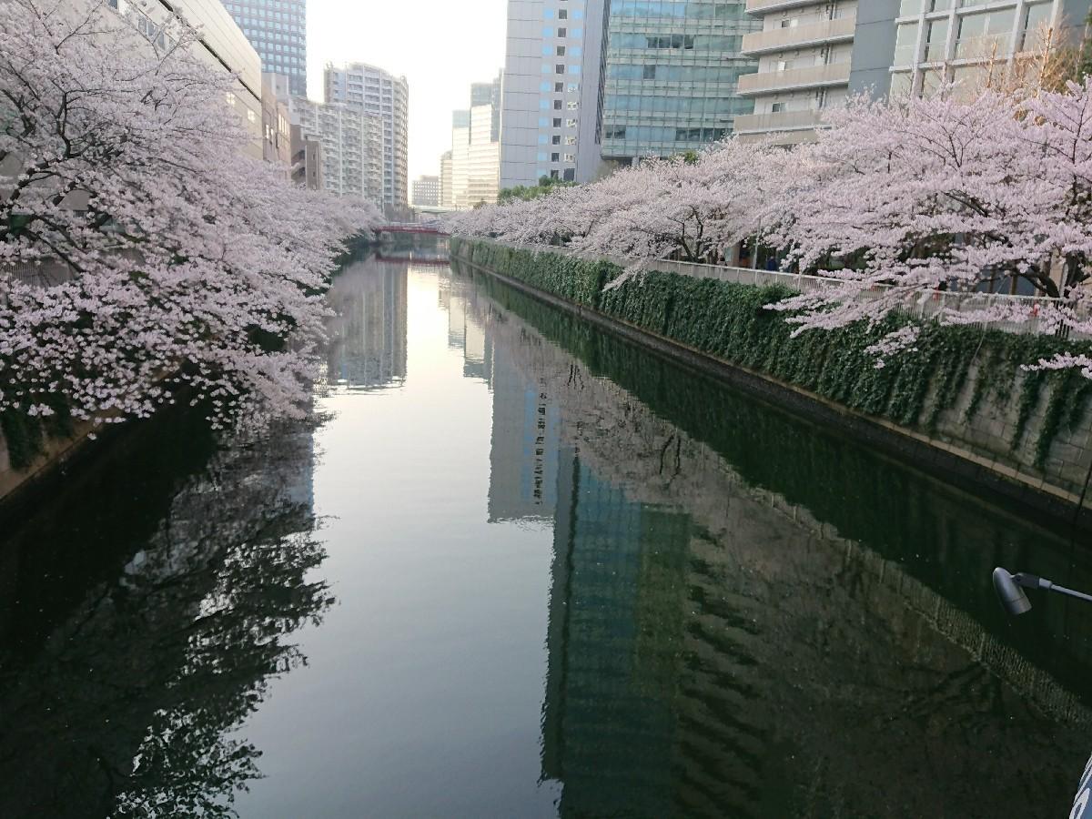 今朝の目黒川の桜_c0100865_08140186.jpg