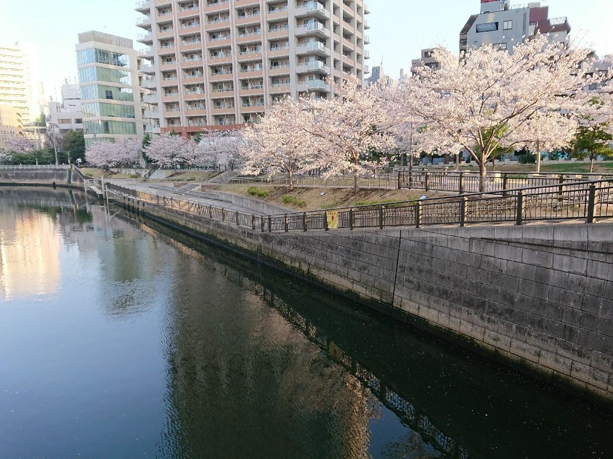 今朝の目黒川の桜_c0100865_08142289.jpg