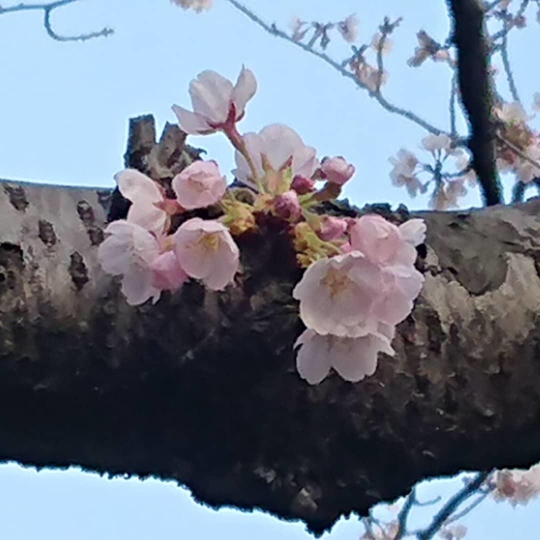 今朝の目黒川の桜_c0100865_08145050.jpg
