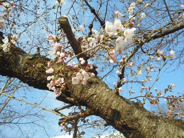 桜が映えます (*^^*) 日生中央駅前から・・・畦野駅前から・・・とっても良いお天気🌞_f0061067_20572172.jpg