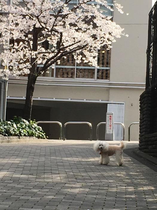 2018.3.26  ソメイヨシノ満開_a0083571_22555426.jpg