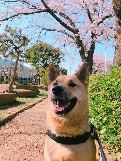 桃太郎と桜 2018_c0364176_17325944.jpeg