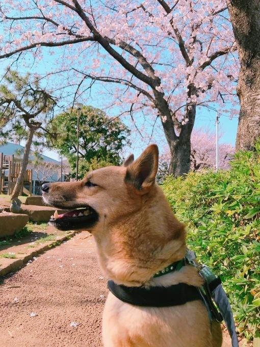 桃太郎と桜 2018_c0364176_17332925.jpeg