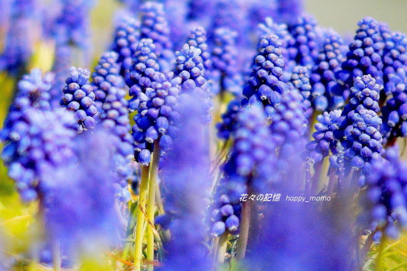 ムスカリの咲く道_c0357781_17270273.jpg