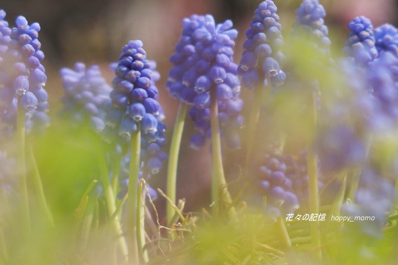 ムスカリの咲く道_c0357781_17275645.jpg