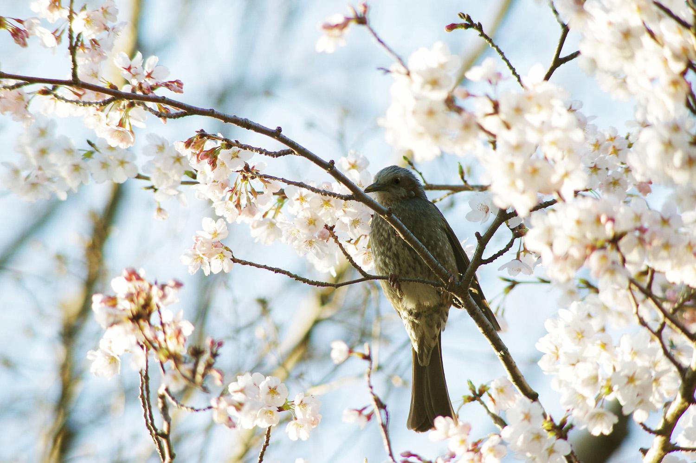梅 桜_e0254493_0142770.jpg